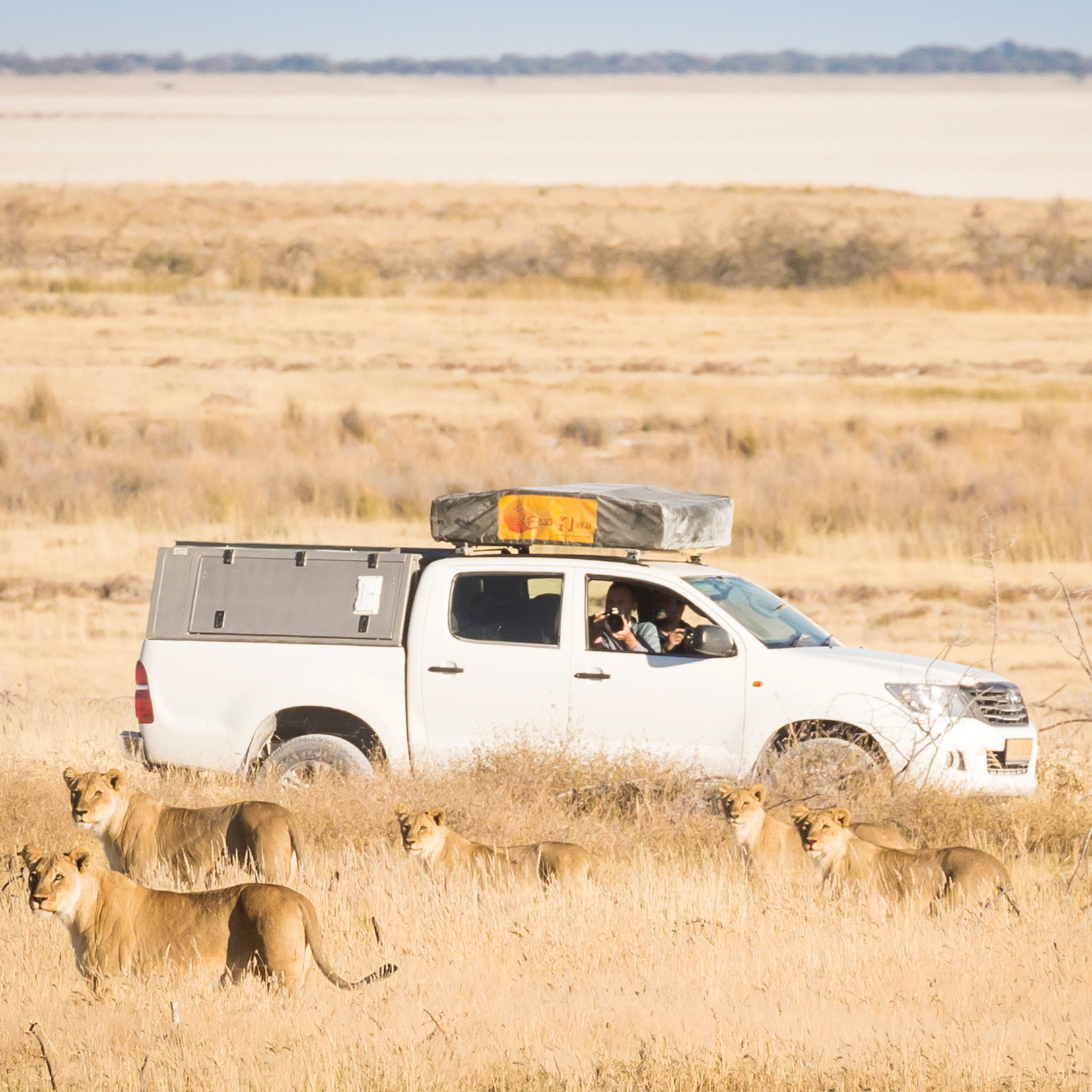 2-female-lions-retreat-with-their-5-cubs-during-a-pride-takeover-near-Charitsaub,-Etosha-