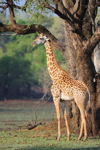 Photograph Joe Dodson, South Luangwa via www. giraffeconservation.org