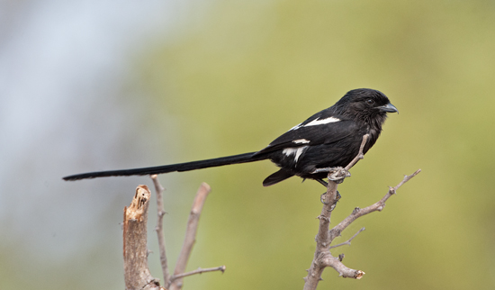 3.Magpie Shrike with its striking long tail. DSC_8956