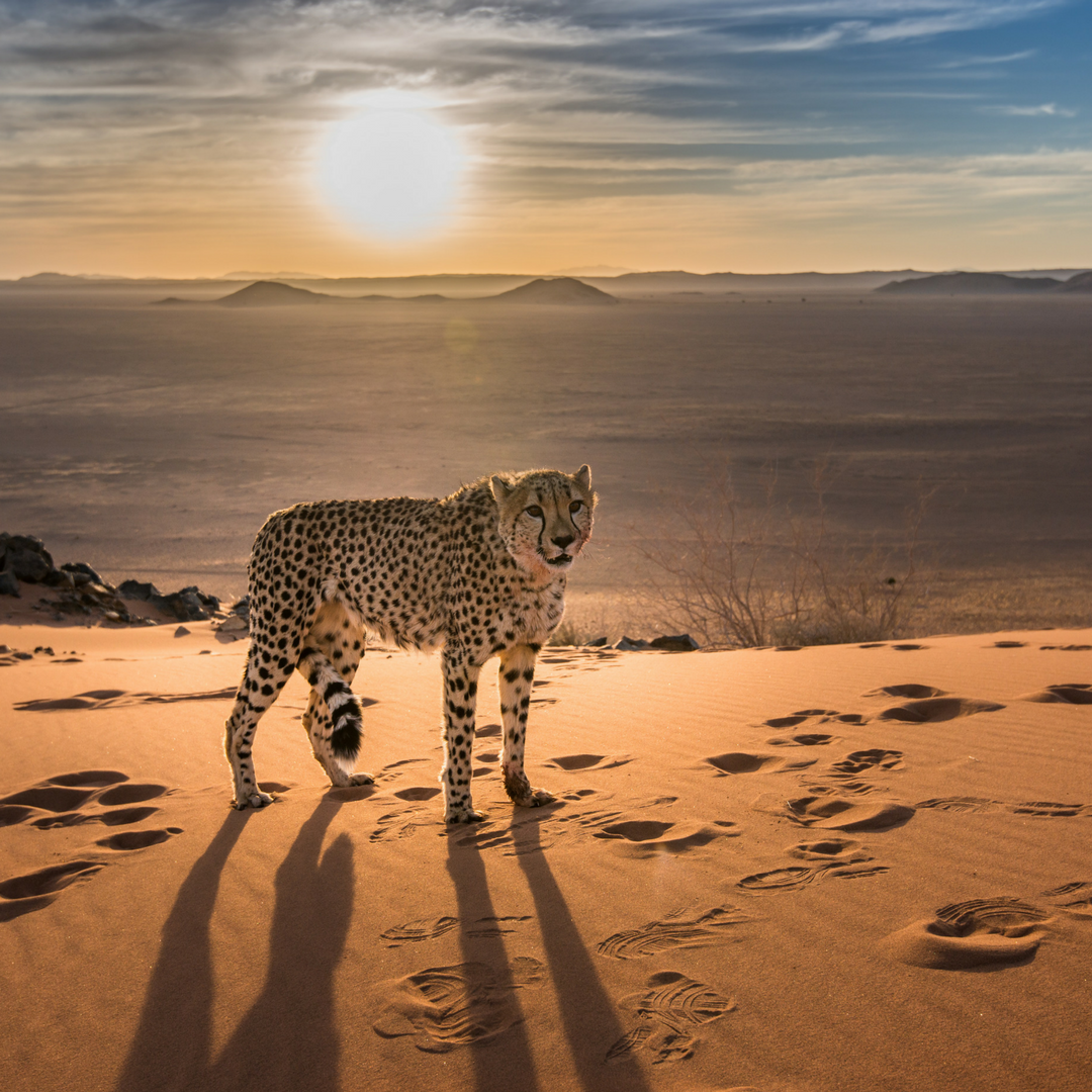 For the love of cheetahs. Photo taken at Kanaan, part of the N/a'ann ku se Collection