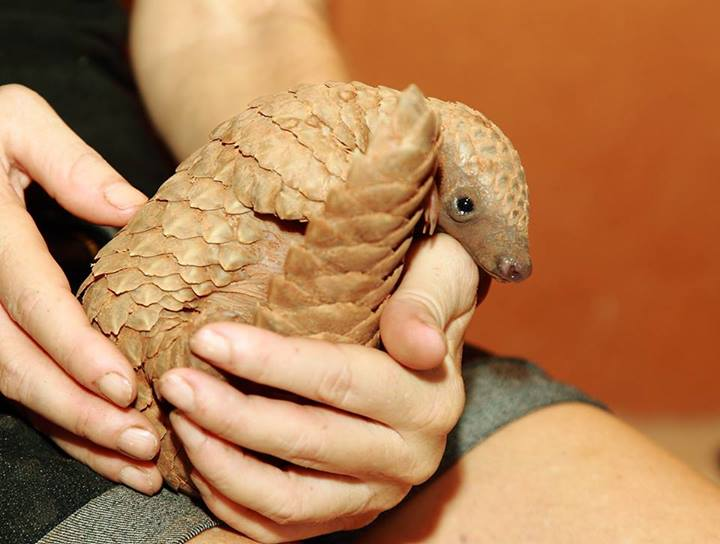 A baby pangolin, in the care of Maria Diekmann and staff at REST.