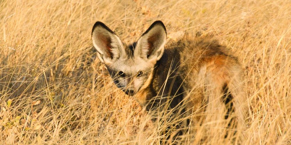 A bat-eared fox forages before sunset on the Halali plains, Etosha Annabelle Venter