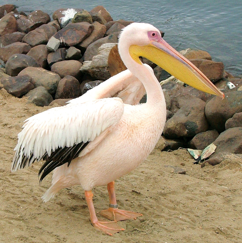 Adult pelican 36 years later - Subject H1024
