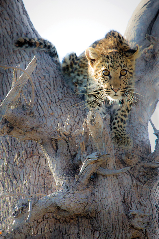 Annabelle Venter leopard cub watching a spotted hyena-1