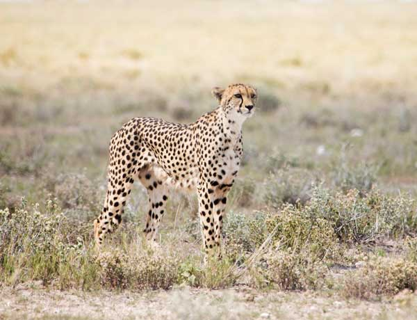 Annabelle-Venter_-cheetah-watching-springbok-on-the-Halali-plains,-Etosha