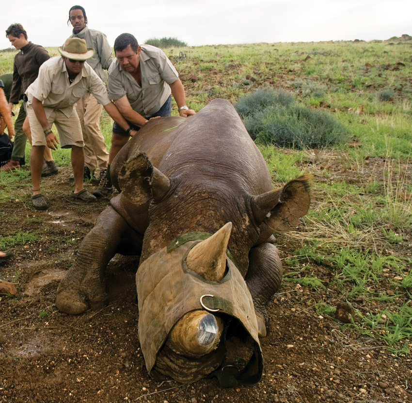 Ben Beytell working with rhino in the field.
