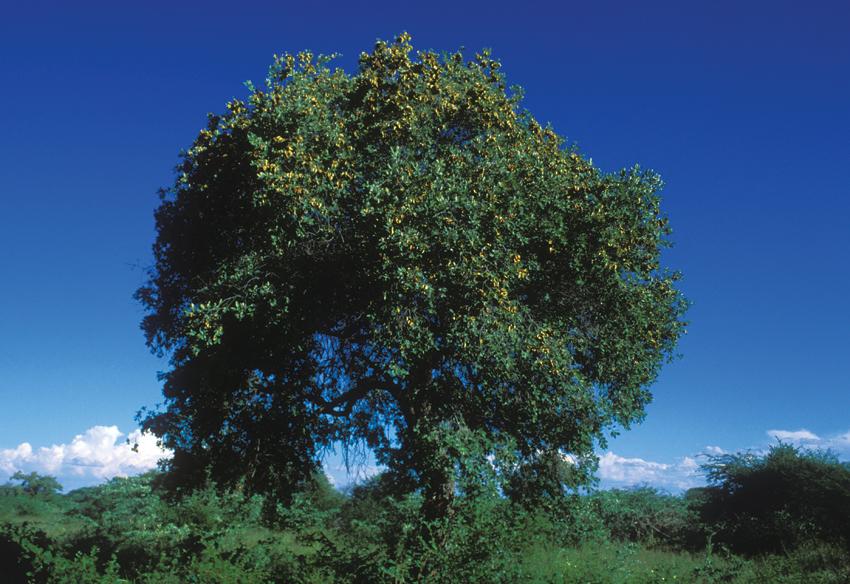 Combretum collinum tree