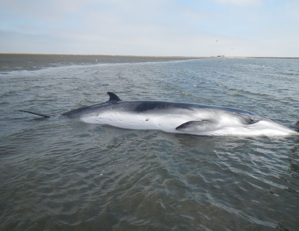The Minke whale before the rescue. Photo Credit: Namibian Dolphin Project