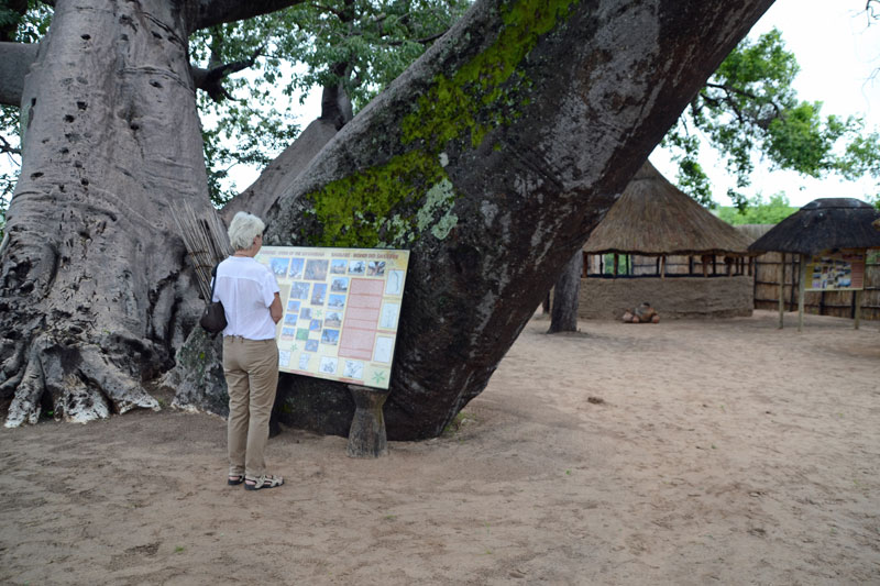 A visitor reading the board underneath the massive old Baobab tree.
