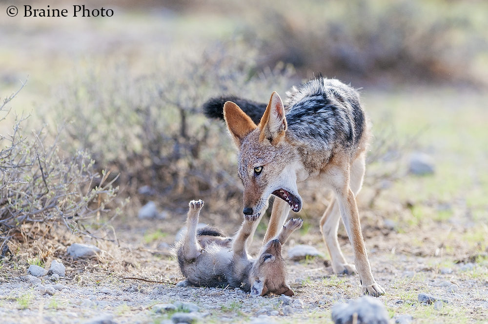 Jackal pup with mom - Etosha National Park. Photo ©Sean Braine