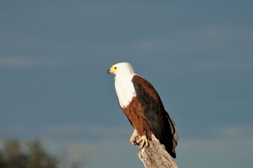The mighty Fish Eagle. PHOTO ©Open Africa