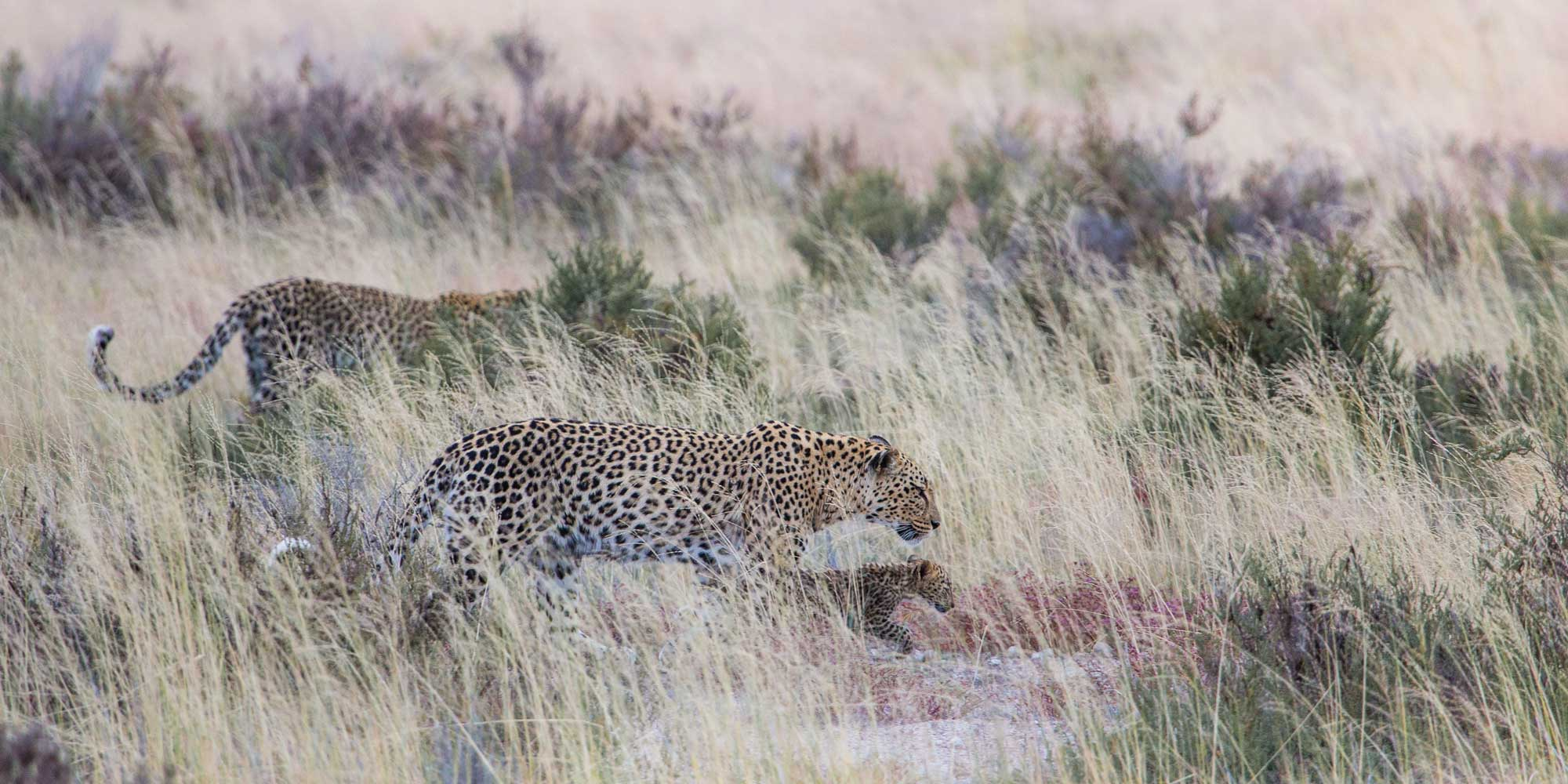 HALALI-LEOPARD,-YOUNG-FEMALE-AND-CUB