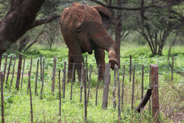The elephant in the Hochfeld area carefully climbing over a low lying fence.