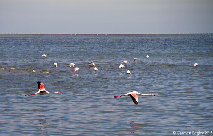Flamingo at Walvis Bay by ©Carmen Begley
