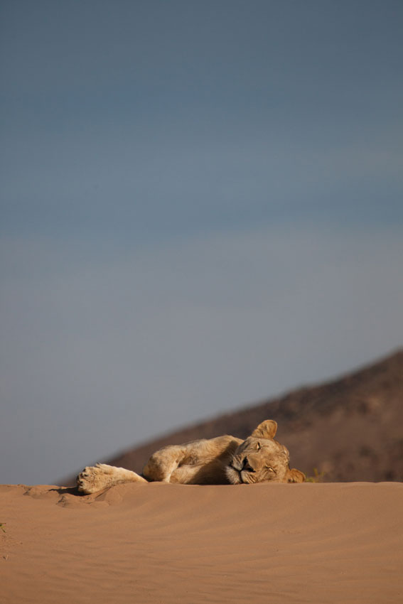 Desert lion, Namibia. Photo ©Will & Lianne Steenkamp _ Into Nature Productions.