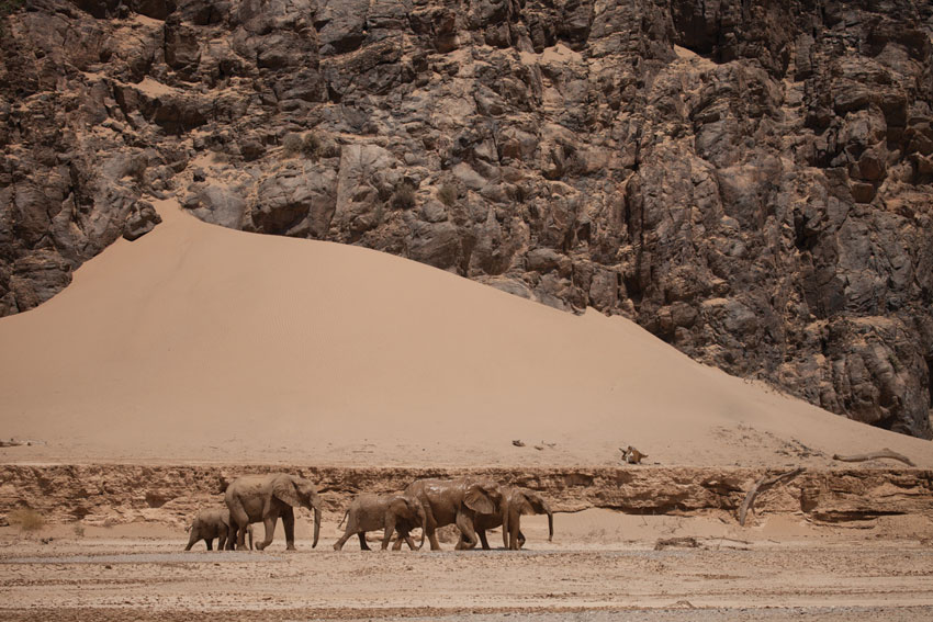 Desert elephants, Namibia. Photo ©Will & Lianne Steenkamp _ Into Nature Productions.