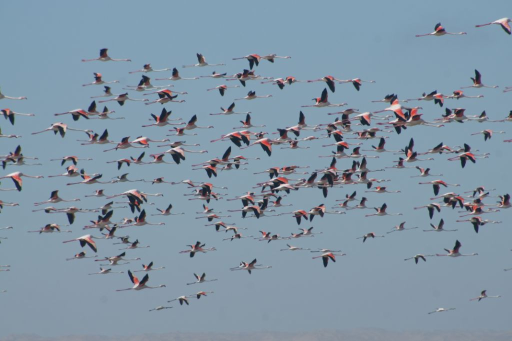 flying greater flamingo