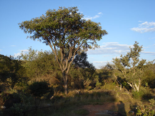 Lennea discolor. Ghaub guest farm. This tree occurs only in the Otavi Mountains and the Zambezi region. Photo ©Luise Hoffmann