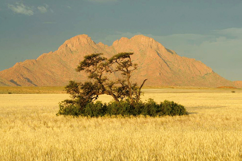 Marenica trees on grassy plain near Little Spitzkoppe