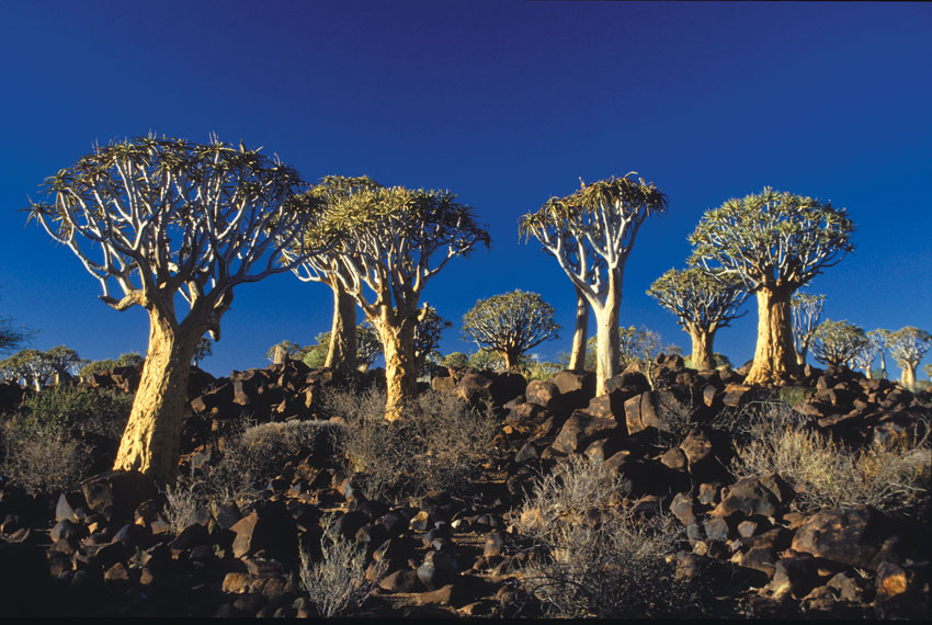 Quiver trees in the Namib-Naukluft. Photo ©Paul van Schalkwyk.