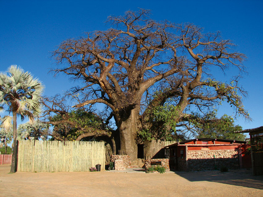 Ombalantu baobab. Photo ©Ron Swilling