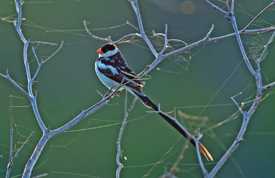 Pin-tailed Whydah enjoying the early morning sun. DSC_7725