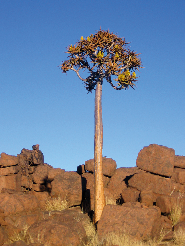 Quiver tree, Aloe pillansii Photo ©Samson Mulonga