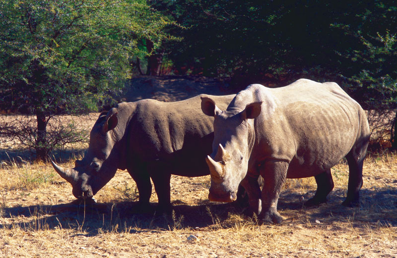 Rhinos in the park.