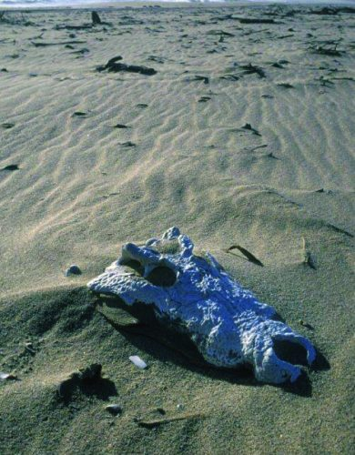 An unusual skeleton was found only seven kilometres south of the Kunene mouth. The skull of the huge crocodile was partly visible, the rest was covered by sand