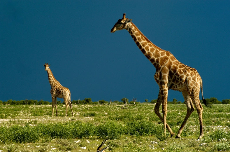 Namibia - Giraffes seen on safari with Pack Safari. Photo ©Pack Safari