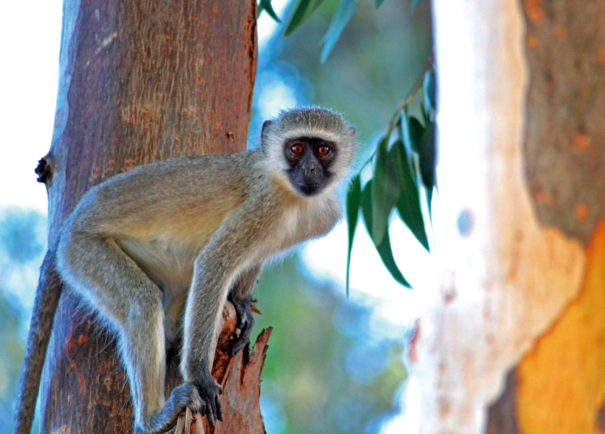 Vervet monkey | Orange River. Photo ©Konny von Schmettau