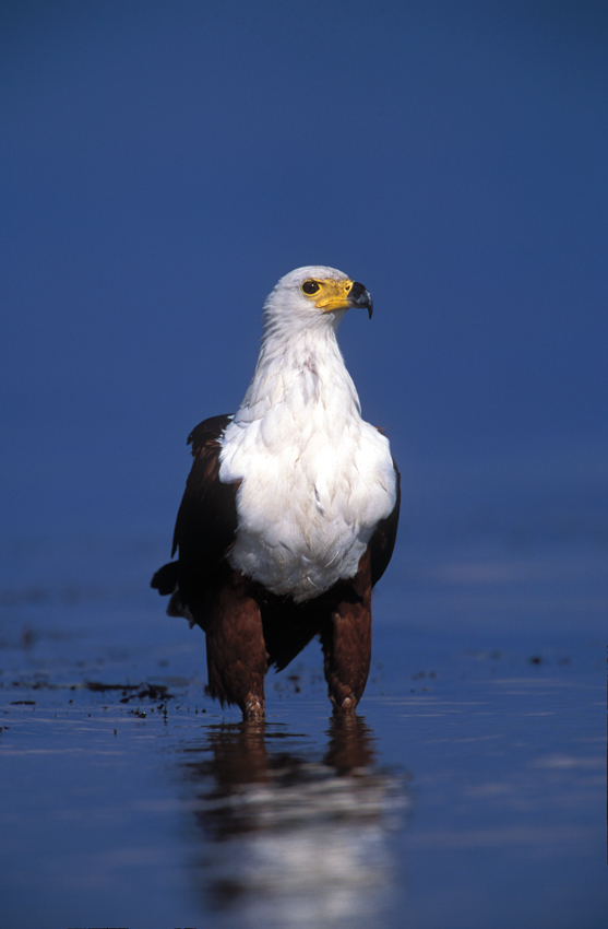 African fish eagle. Photo ©Pompie Burger
