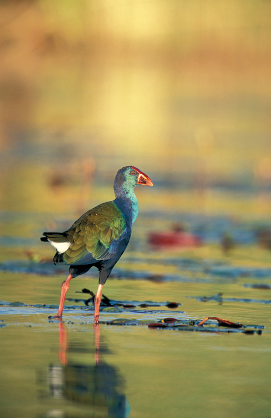 African Purple Swamphen. Photo ©Pompie Burger