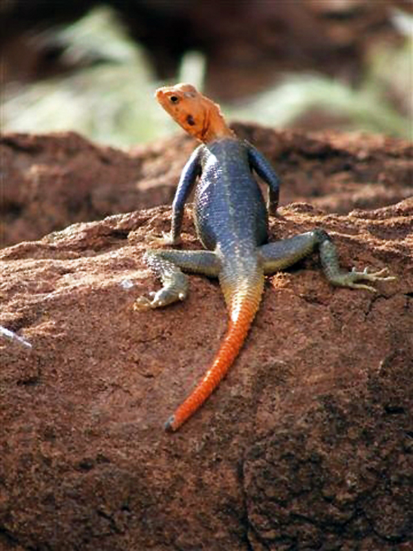 Namibian rock agama, Agama planiceps Photo ©A Thompson
