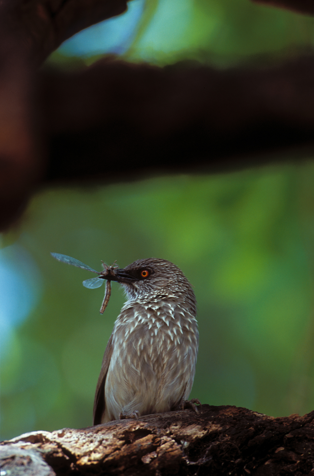 arrow-marked-babbler