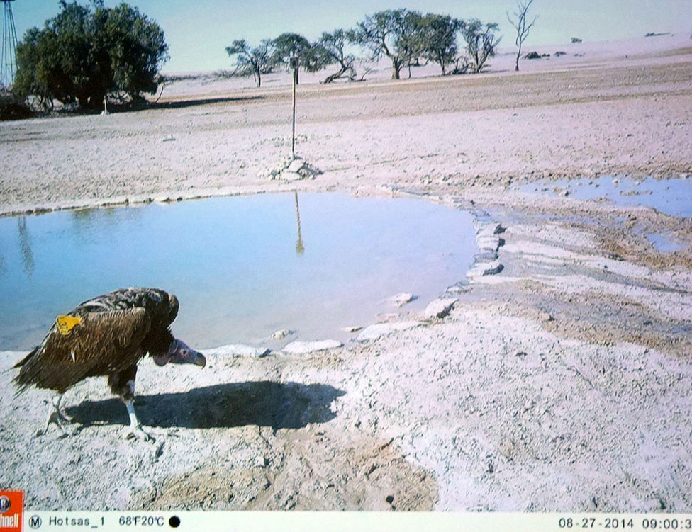 Vulture caught on a camera trap.