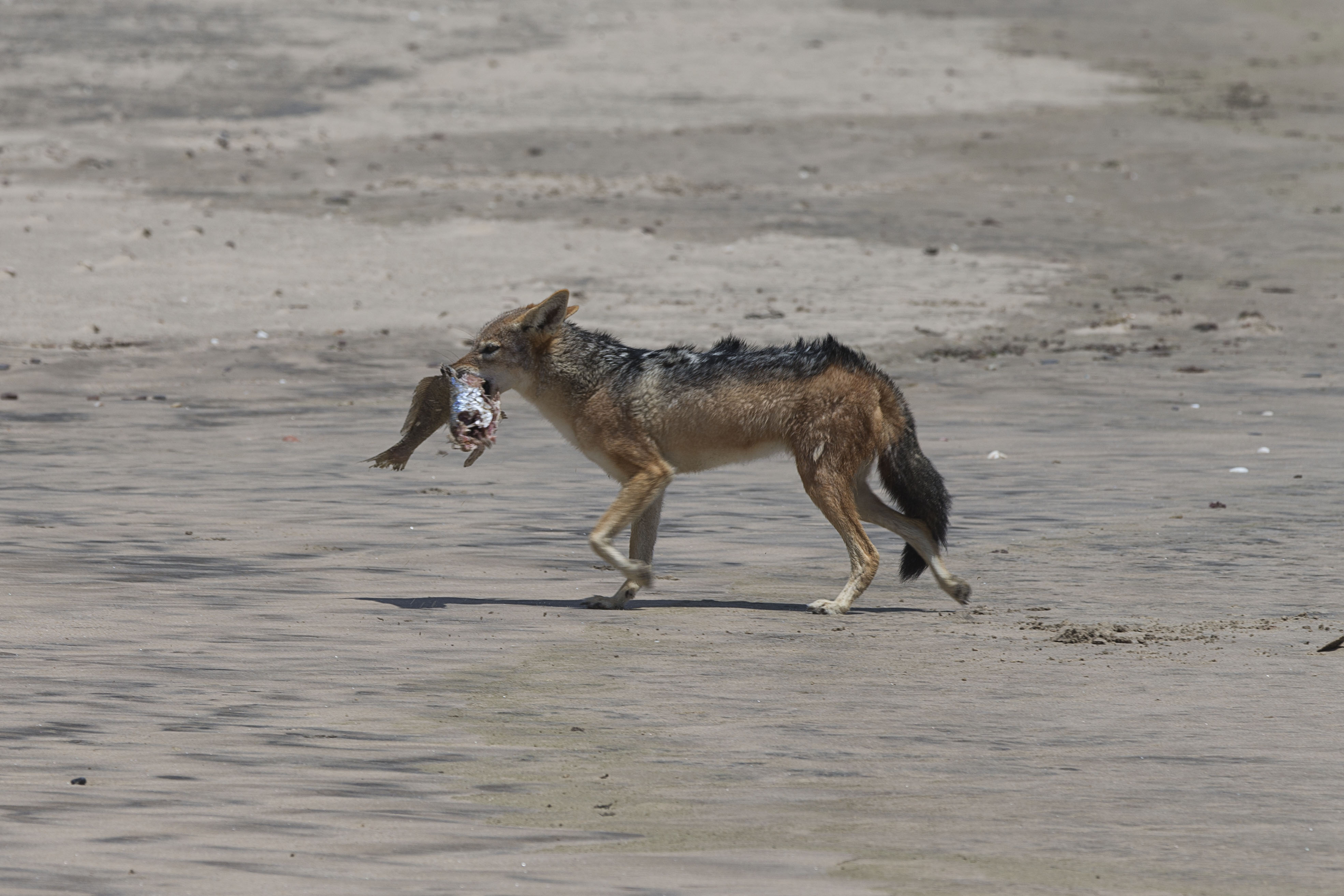 Jackal with his Catch of the day. Near Kunene River Mouth. Photo ©Christie Keulder