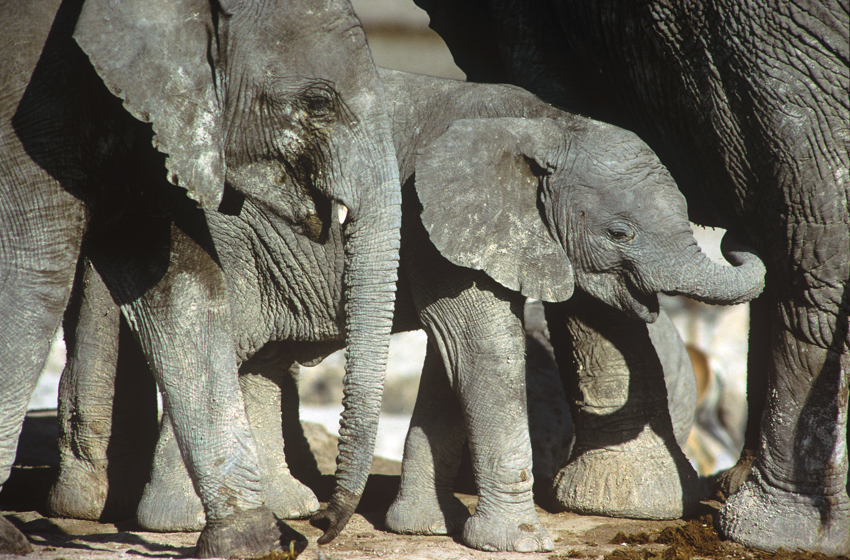 Elephants in Etosha. Photo ©Paul van Schalkwyk