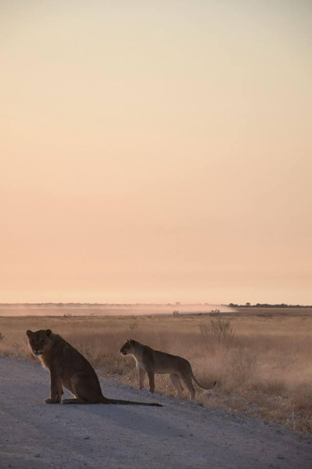 Early morning lion sighting, Etosha. Photo ©Thomas Blomme