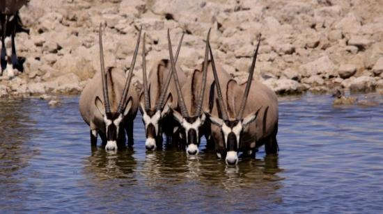 Gemsbok at Etosha National Park