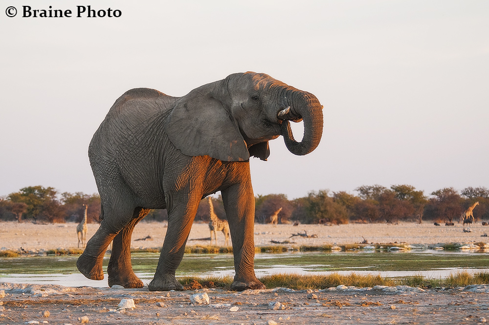 Etosha elephant. Photo ©Sean Braine