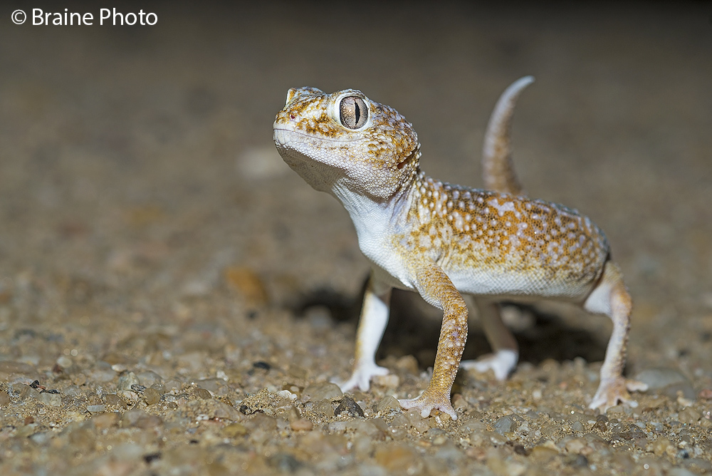 Giant ground gecko. Photo ©Sean Braine