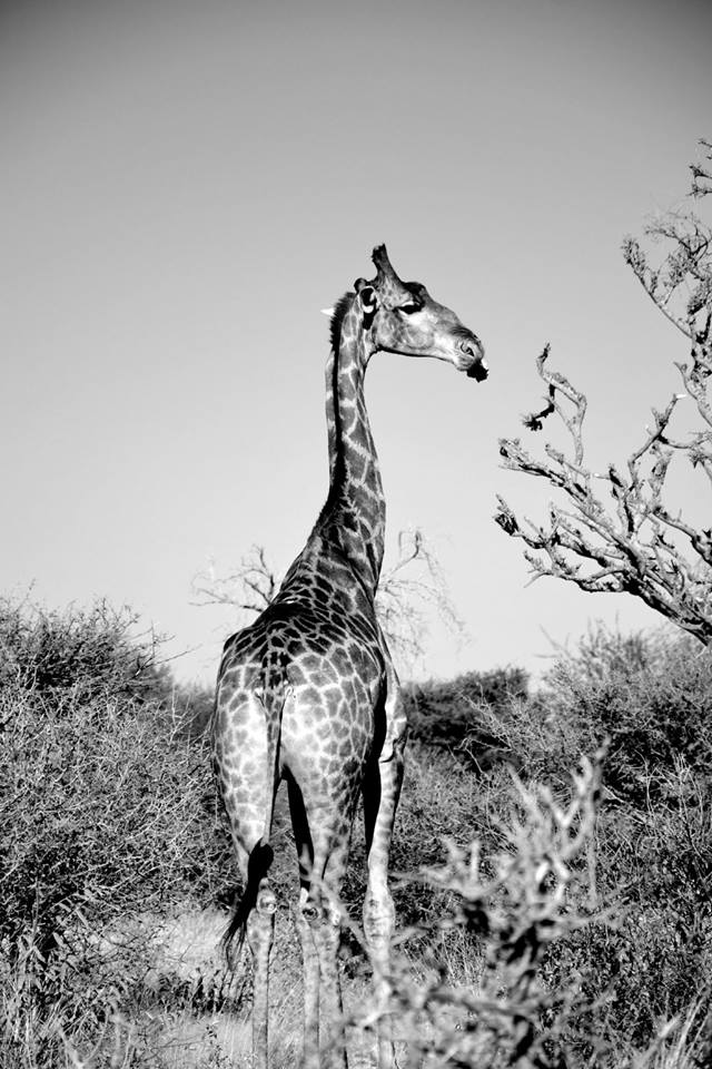 Giraffe. Photo ©Thomas Blomme