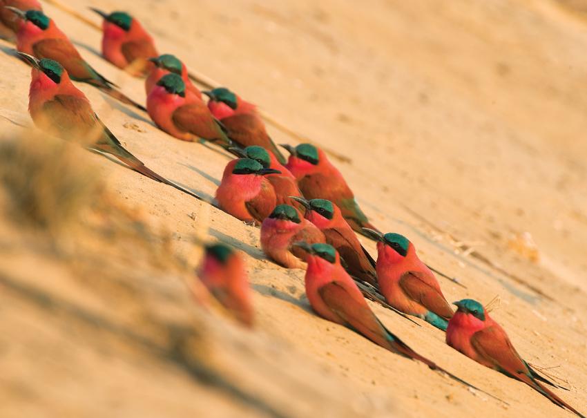 group-of-bee-eaters carmine bee eater birds birding