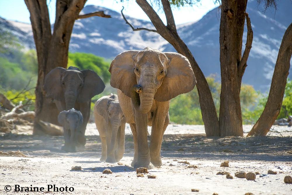 hoanib_eles elephant sean braine