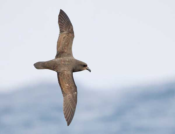jj-harrison-great-winged-petrel