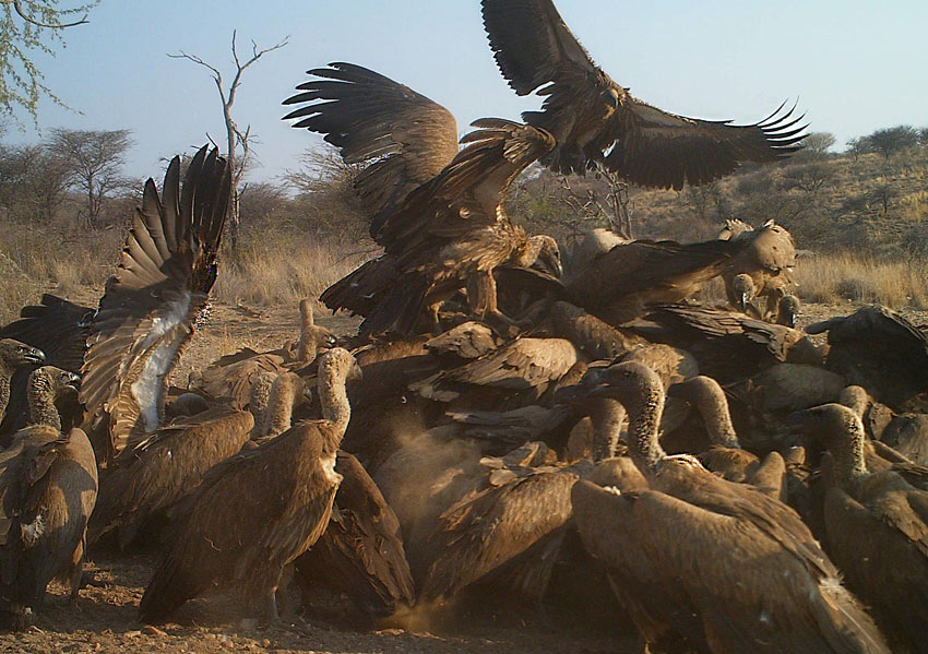 A melee of vultures
