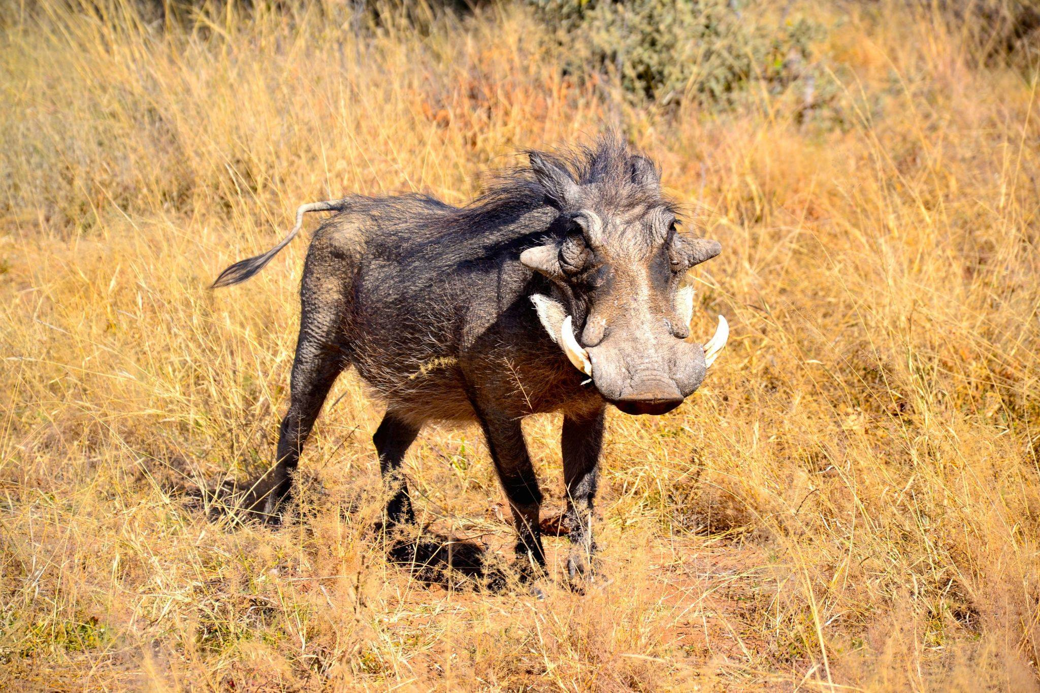 Pumba, the warthog. Photo ©Thomas Blomme