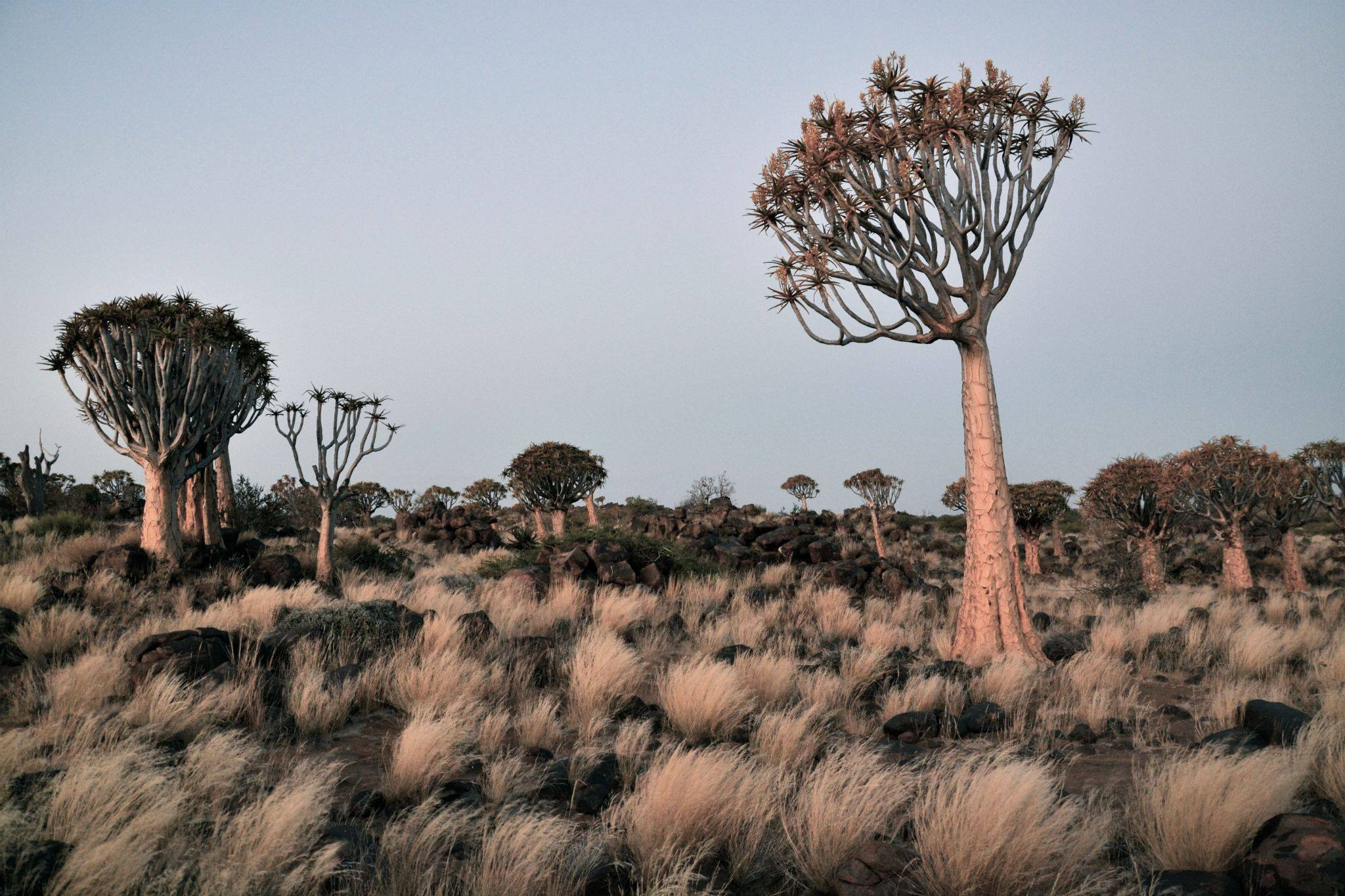 Quiver tree forest. Photo ©Thomas Blomme