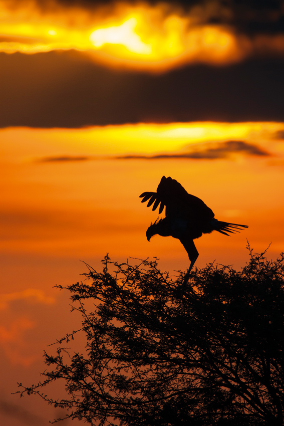Secretary bird at sunset